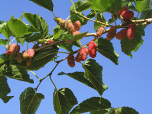 Mulberry003.jpg